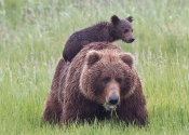 sow-with-cub-on-back